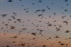 """Schweiz, Basel, Herbst 2017; Riesige Starenschwaerme machten auf dem Weg ins Winterquartier Station in Huningue, Frankreich, nahe bei Basel. Es entstanden binnen vier Wochen kuenstlerischer Dokumentation rund 150 Video-Clip und Tausende Fotos. Kerne dieser Arbeiten sind die  geplante immersiven Installtion und der Kurz-Essay-Film. Fuer diesen Kurz-Essay-Film ist am 24.10.18 eine crowdfounding-Kampagne mit dem Titel """"Vogelschwaerme als Essay-Film"""" gestartet: https://wemakeit.com/projects/bird-swarms-as-an-essay-film . Hier ein screenshot aus der letzten Fasssung des Kurz-Essay-Films."""